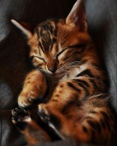 Бенгальский кот (фото): маленькая копия леопарда Смотри больше http://kot-pes.com/bengalskij-kot-foto-malenkaya-kopiya-leoparda/