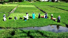 Picking watercress at Sumida Farms, which is located between the two Pearl Ridge Shopping Centers in Aiea, HI on Kam Hwy. Photo by John Burns