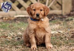 Pansy – Golden Retriever Puppies for Sale in PA | Keystone Puppies
