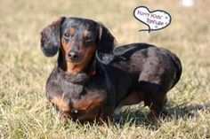 Trixie is an adoptable Dachshund Dog in Kansas City, MO. Furry Kids Refuge needs LIQUID LAUNDRY DETERGENt and NEWSPAPERS. �If you have any to spare you can drop them off at our weekly adoption events...