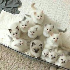 Beautiful white kittens. I LOVE the way they're looking up at the camera. If you think this pic's cute, then like, comment and share it. ♥ x
