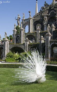 White Peacocks roam free in the gardens of Isola Bella