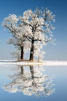 snow covered trees reflecting in a lake - white and blue colours
