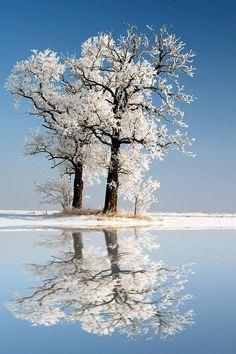 snowy#white #trees