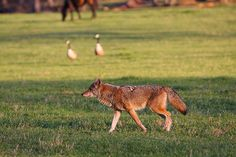 Visit #CadesCove and experience the #Wildlife of the #SmokyMountains