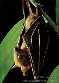 Cynopterus brachyotis. A female Short-nosed Fruit Bat.