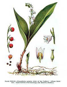 Peau de Fleurs: Muguet - Plante toxique