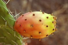The cactus fruit is full of valuable substances and exceptionally sweet and tasty. Let's discover all the propertis of Opuntia Ficus Indica fruit. Ficus, Euphorbia Milii, Cactus Flower, Flower Seeds, Gardens Of The World, Comment Planter, Cactus Seeds, Fruits Images, Prickly Pear Cactus
