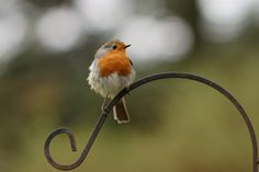 """""""Who ate my breakfast?"""" by Peter Trimming on 500px - European robin"""