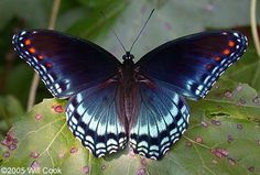 butterfly species pictures | One of our most commonly noticed butterfly species, Red-spotted Purple ...