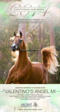 arabhorse.com - Argent Farms - Arabian Horses