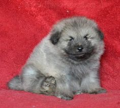 Keeshond puppy (boy) for sale.