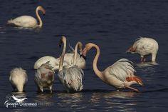 http://ift.tt/1K6283m #animals Pink flamingos by ironsnake62 http://ift.tt/1T4BPxz #pierceandbiersadorf
