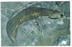 An Ottoia fossil (Burgess Shale).