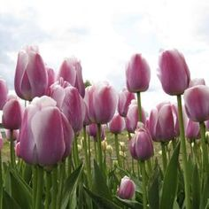 Depending on your area's weather habits, tulips may require digging and storing for repeated blooms.
