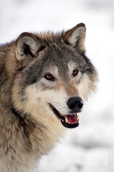 Wolf In Winter by Sohns/Okapia ... Just look at that beautiful face <3