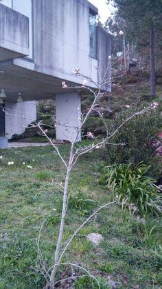A magnolia no seu primeiro ano en vilar