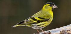 Tuinvogels | Natuurpunt sijs