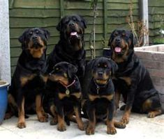 Rottweilers..nice family picture