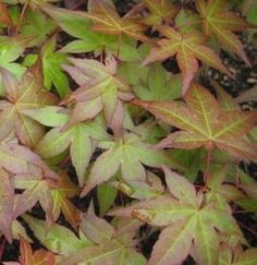 Acer palmatum ' Corallinum ' Japanese Maple Tree
