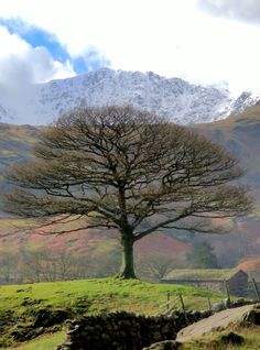 Tree, Little Langdale, Lake District, England. (Photo: H. Travis)