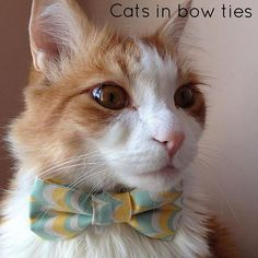 . Thank you @todd.the.cat for tagging your pawsome photo #catsinbowties1!  . Please go check their gallery and show them some love! . Feature selected by @mademoiselle.jinx by catsin.bow.ties