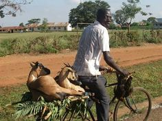 GOATS ON BICYCLES IN AFRICA