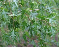 BETULA pendula 'Crispa', Берёза повислая `Криспа` (`Далекарлийская`) | Pflanzen…