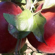 Schemă de tratament de la A la Z pentru livezile de măr Paros, Plum, Plant Leaves, Garden, Flowers, Plant, Garten, Florals, Gardens