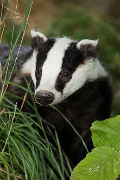 European Badger at the British Wildlife Centre by Sophie L. Miller, via Flickr