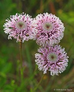 Marshallia graminifolia   by anythingfunoutdoors