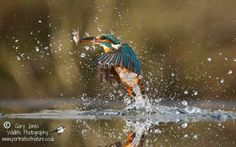 Kingfisher - Gary Jones Photography