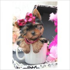 ♥♥♥ Teacup Yorkies! ♥♥♥ Bring This Perfect Baby Home Today! Call 954-353-7864 www.TeacupPuppiesStore.com  TeacupPuppiesStore - TeacupPuppiesStore.com - Teacup Puppies Store - Tea Cup Puppies Store