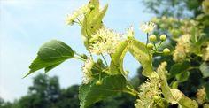 Hársfavirág Edible Flowers, Image Search, Herbs, Garden, Lime, Profile, American, Photos, Ideas