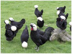 Figure 1. A breeding group of White Crested Polish chickens.