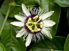 Passion, Flower, Fruit, Tropical, Green, Petal, Leaf  FREE