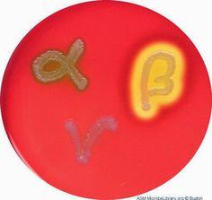 Blood Agar Plates and Hemolysis Protocols - The history of blood agar, as we…