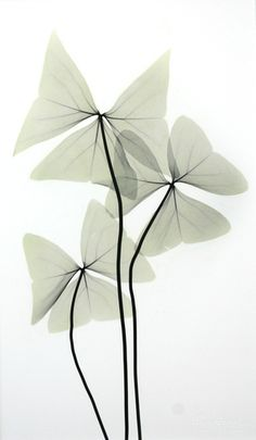 Beyond Light, a web site about Albert Koetsier's artwork about the intersection of art (photography) and science (X-Rays) Botanical Illustration, Botanical Prints, Illustration Art, Watercolor Plants, Watercolor Leaves, Line Art Flowers, Flower Art, Oxalis Triangularis, Transparent Flowers
