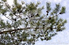Pine branch with cones in sunny april day