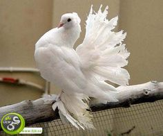 The Royal Pigeon White Pigeon, Dove Pigeon, Exotic Birds, Exotic Pets, Beautiful Birds, Animals Beautiful, Fantail Pigeon, Drawing Body Proportions, Pigeon Pictures