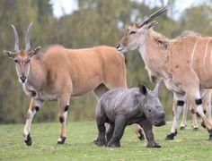 #Throwback to when Ekozu met some eland on one of his first days out on Safari!   #WMSP #Cute #ThrowbackThursday #TBT #Rhino #AfricanAnimals #Animals #SafariPark #Eland #WhiteRhino #Animal #Amazing #Wildlife #Nature #Safari