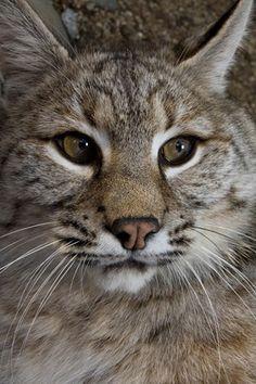 Bobcat (Lynx rufus) portrait, North America