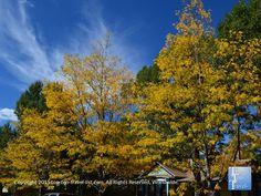 Pretty yellow #fall foliage in #Flagstaff Arizona