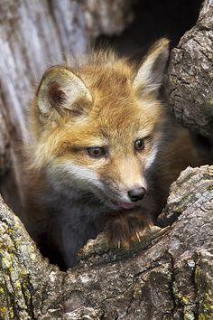 Red Fox Kit | Debbie | Flickr