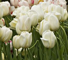 WFF Ivory Perennial Tulip opens a creamy yellow and quickly matures to a solid ivory white. Perfect to enrich the May border or to pair with other Tulips in bouquets.