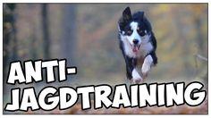 Anti-Jagdtraining bei Hunden! Hund jagt! Jagdtrieb kontrollieren / Bindu...