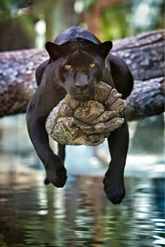 A black jaguar just hanging out: