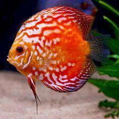 Acará-Discus. Peixes Ornamentais 18 - Red turquesa