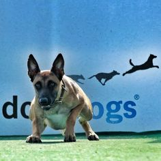 Belgian Malinois Focused