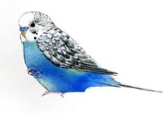 Artsy representation of Sergeant Squeakers, one of my budgies. For my sketchbook for art class. Blue Drawings, Cute Animal Drawings, Animal Sketches, Funny Birds, Cute Birds, Watercolor Bird, Watercolor Animals, Bird Pictures, Pictures To Draw
